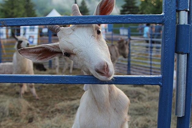 Fest Goat